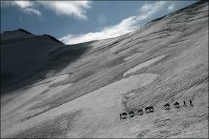 Trekking-Pferde steigen ein Schneefeld ab, Nana Ziesche, Yangla Tours, Ladakh, Indien